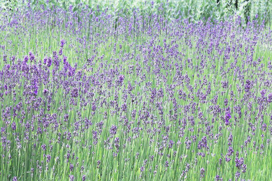 Nymans lavendar