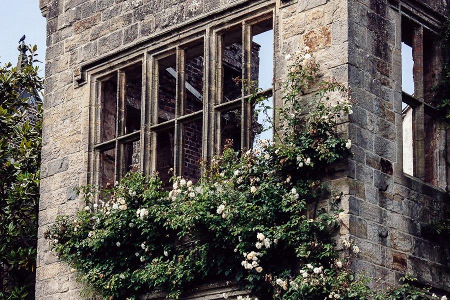 Nymans ruins window climbing rose