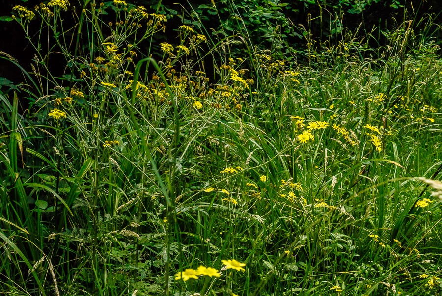 Groundsel or ragwort