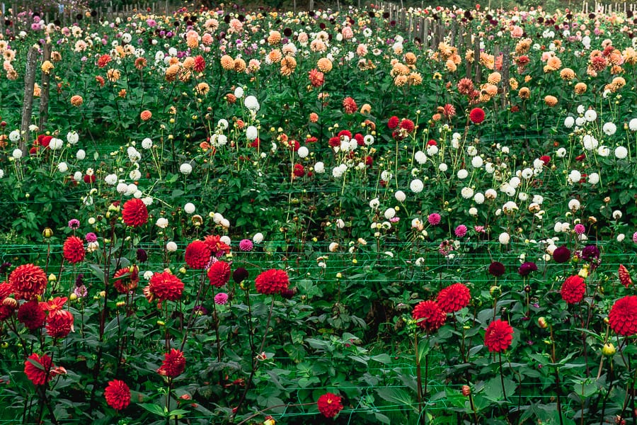 Withypitts field of dahlias
