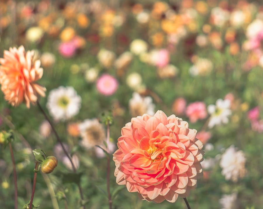 Dahlias Withypitts UK