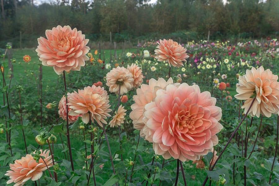 Withypitts peach coloured dahlias