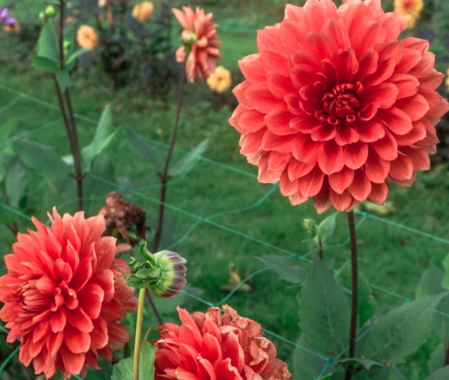 Withypitts red dahlias