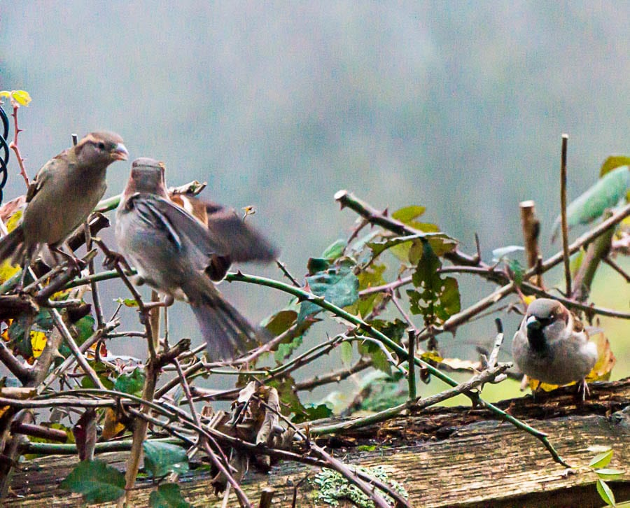 Winter garden Birds Chaffinch and house sparrow
