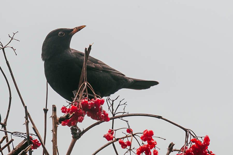 Blackbird on guelder roses