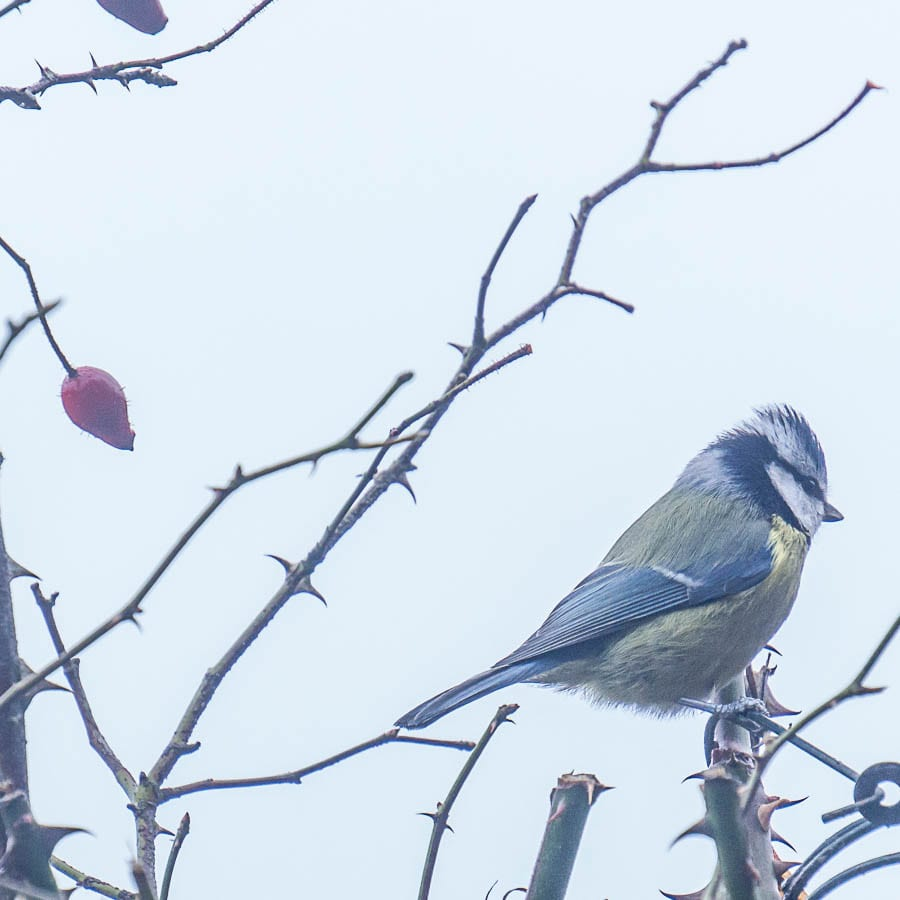 Blue tit mist hedgerow