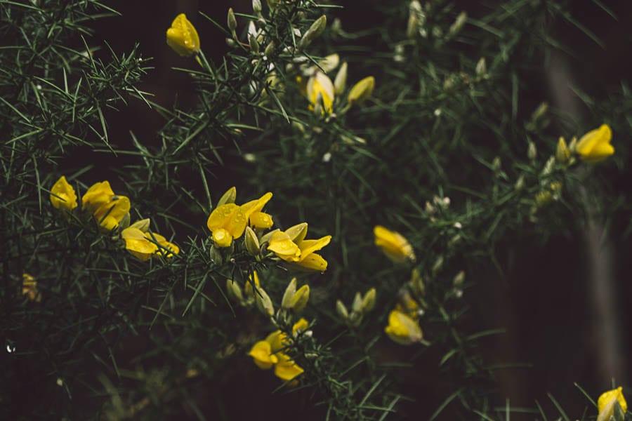 Wild flower path Gorse
