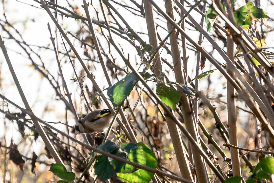 Winter garden birds goldfinch in hedgerow