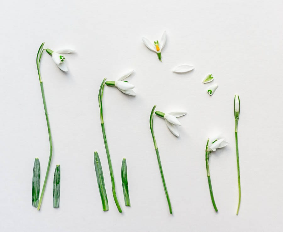 Snowdrop facts botanical flatlay