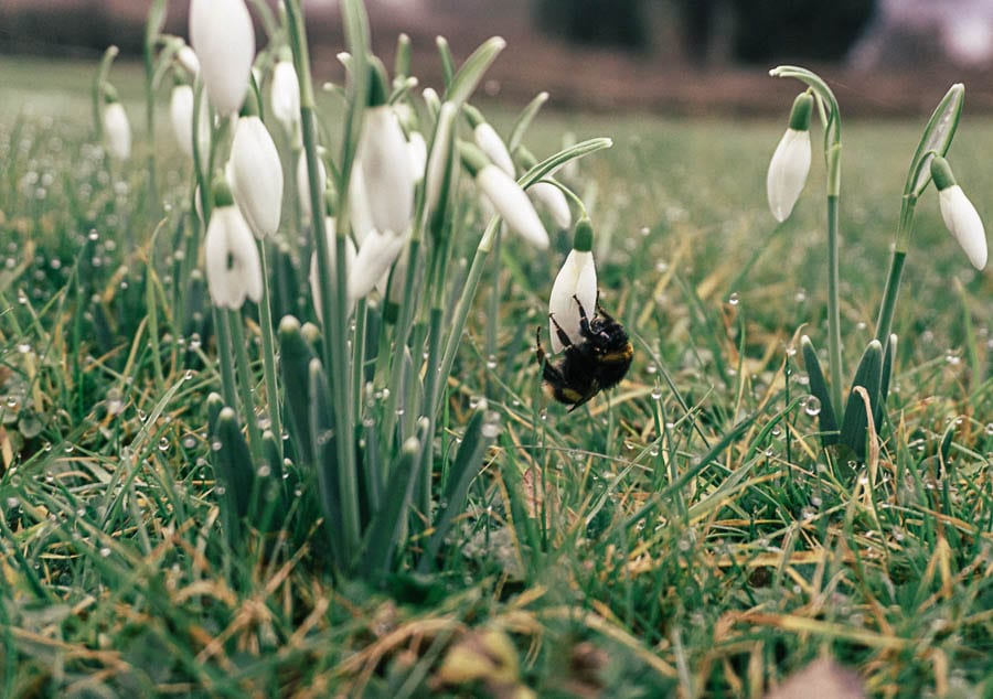Snowdrop facts bumbleebee
