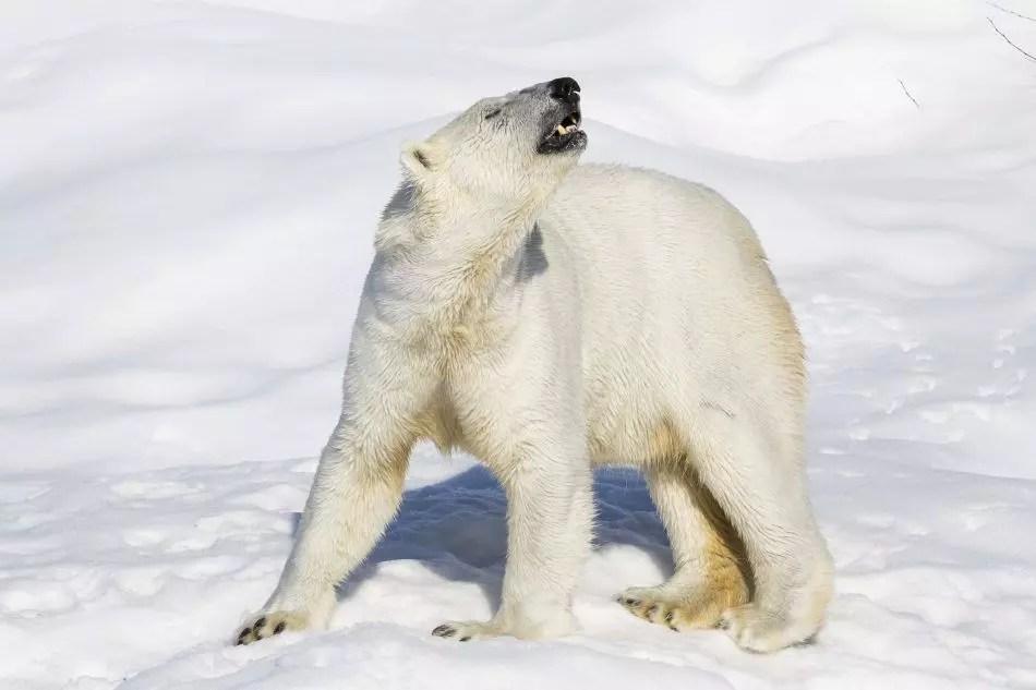 Polar Bear at Ranua Wildlife Park
