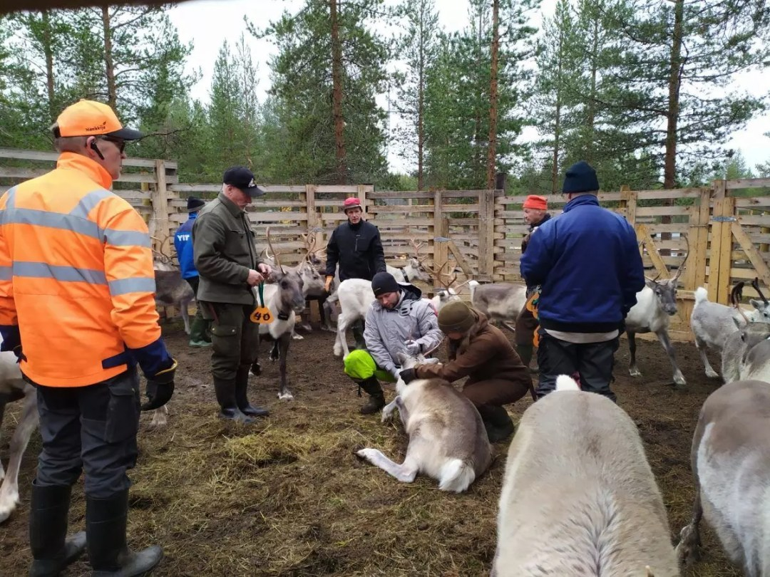 Reindeer herders Rovaniemi