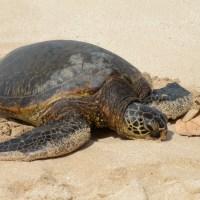 Puerto Rico Protects Turtle Nesting Habitat