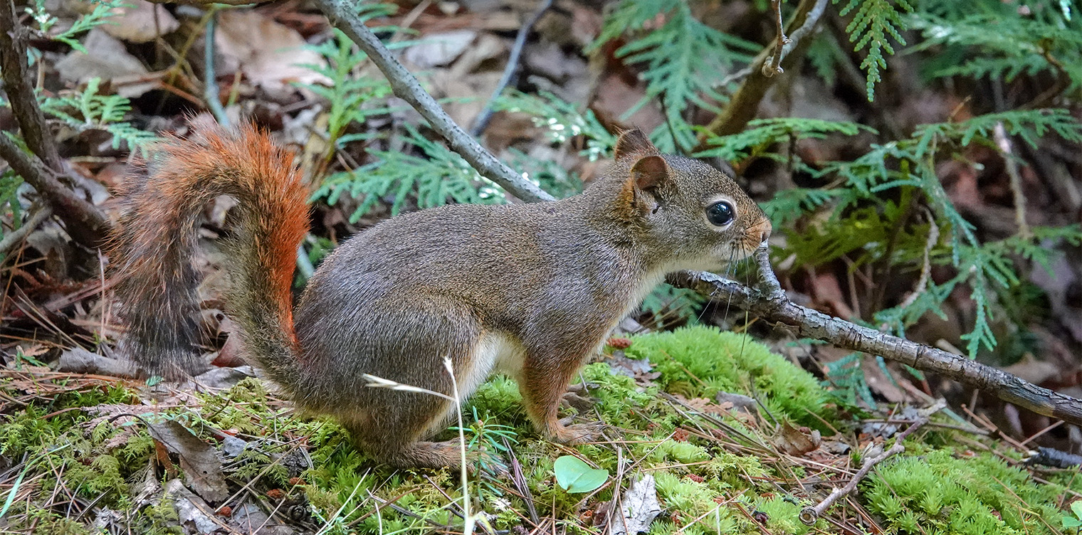 adirondack mammals red squirrel