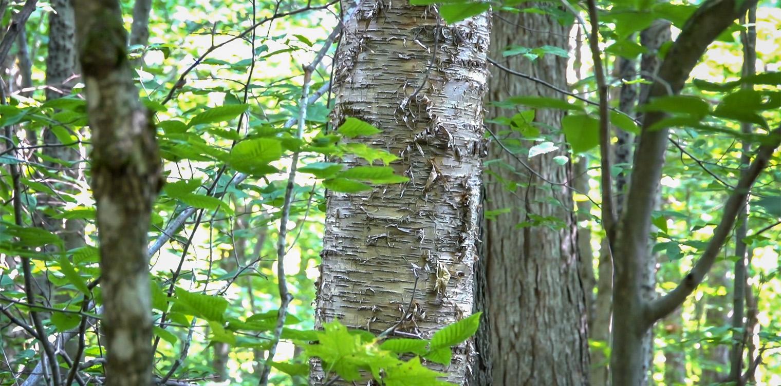 trees of the adirondacks