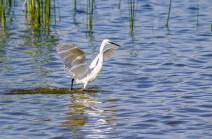 Egret Fishing-6