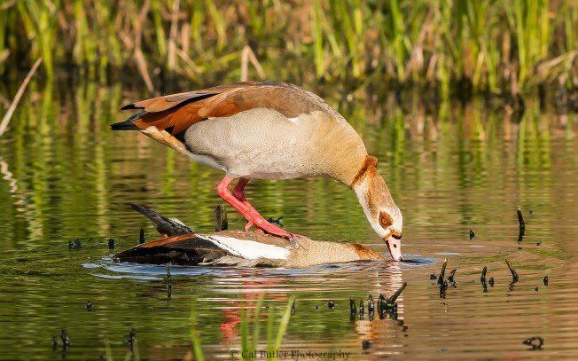 mating-egyption-geese-1