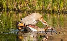 mating-egyption-geese-3