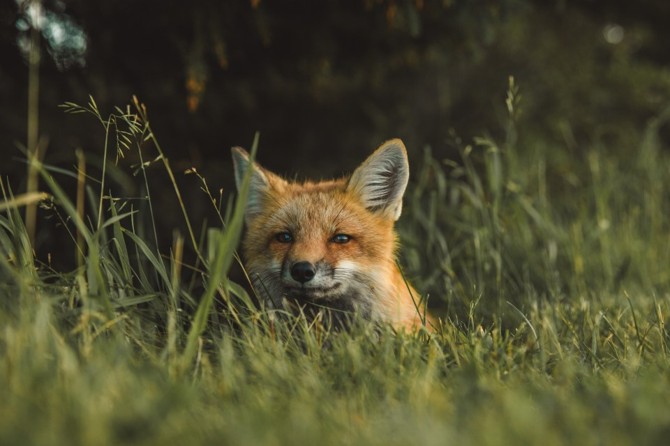 Fox in the Cairngorms National Park