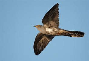 Cuckoo on a wildlife tour Scotland