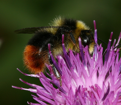 Mountain Bumblebee Wildlife Scotland