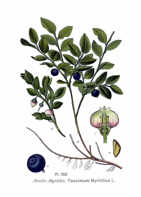 Vaccinum myrtillus in Scotland