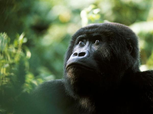 Gorilla – This endangered species has been traditionally eaten in some African cultures, even to this day.