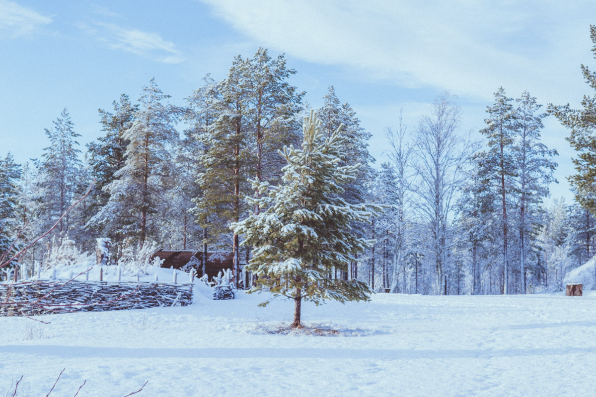 Tree covered in snow in Kierikki