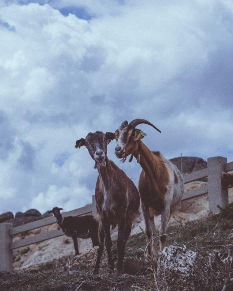 Two goats with cloudy sky behind | Cycle of Life and Death