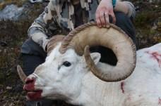 Tok Dall Sheep