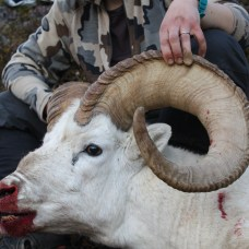 Tok Dall Sheep
