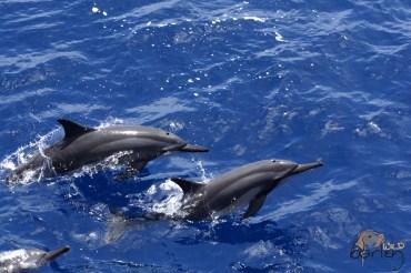 Spinner Dolphin