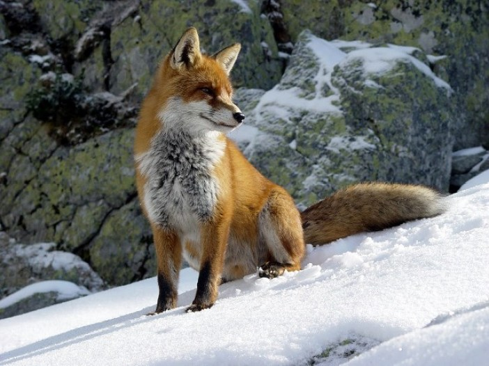 Fuchs