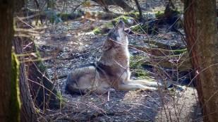 Wolf beim Heulen