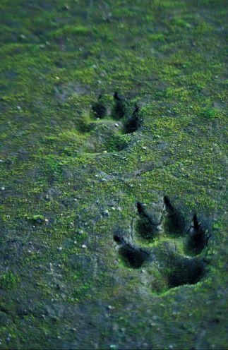 Wolfsspuren im Sand