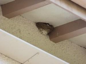 Die Mehlschwalbe baut ihr Nest aussen an Gebäuden unter Dachvorsprüngen. Bretter unter den Nestern verhindern, dass der Kot nach unten fällt. (ARNAL/zvg)