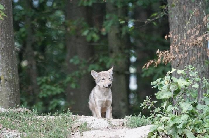Wolf Welpe