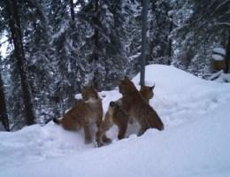 Eine Luchsmutter mit ihren Jungen im Schnee. Das Bild entstand in der Gegend um die Gemeinde Sigriswil. Bild: Fachstelle Kora