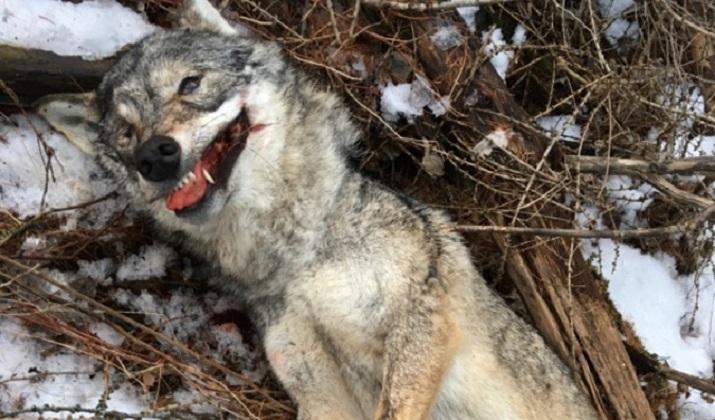 wolf-wilderer-wallis