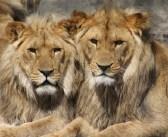 Südafrika schlachtet Löwen aus
