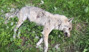 Die tot aufgefundene Wölfin in Jaun im Kanton Freiburg wurde mit grosser Wahrscheinlichkeit vergiftet.