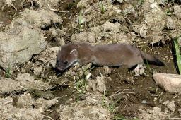 Hermelin aus Wikimedia Commons