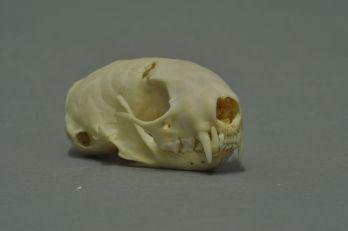 Hermelin Schädel aus Wikimedia Commons