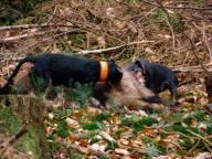 Nein, Jagdhunde verbeissen sich nicht in Wildtiere - Stichwort: Die gute Ausbildung im Wildschweingatter
