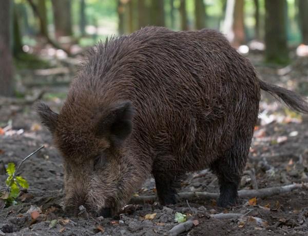 Wildschweine treibt es auf die Felder