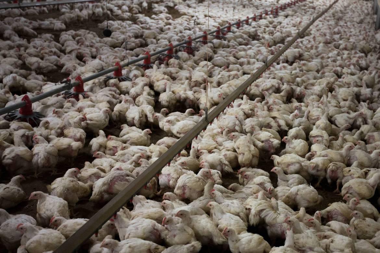 Hühner Betrug