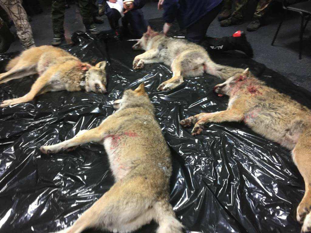 Norwegen Wolf