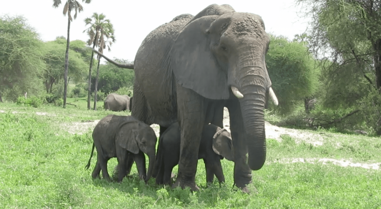 Elefanten Zwillinge Tansania
