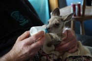 Feeding orphan Joey -®Hopping Pictures