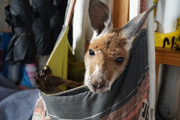 Joey in orphan pouch -®Hopping Pictures